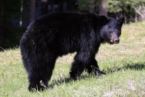 Black bears are common in the Columbia Valley.
