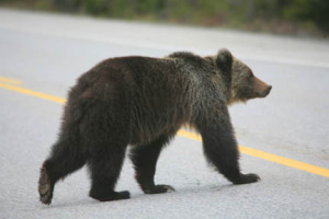 Grizzly bears are relatively common on the outskirts of Canmore.