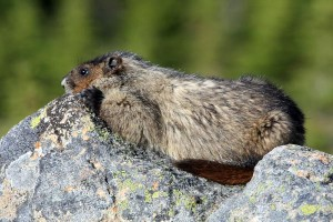 Marmots can be seen sunning themselves on rocks at higher elevations throughout Yoho National Park.