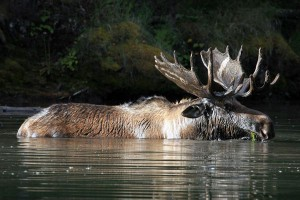 Kananaskis Country is a good place to view moose.