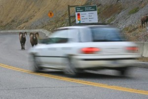 Around Radium Hot Springs, Bighorn sheep use the road as their own personal highway—so drive carefully.