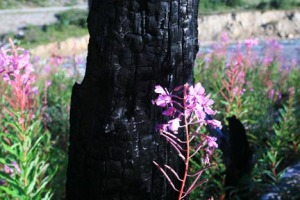 Fireweed is common throughout the Vermilion Valley.