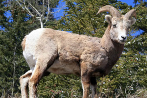 A young male bighorn sheep.
