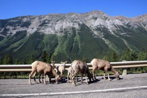 Bighorn sheep are common throughout Kananaskis Country