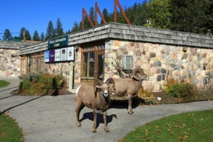 On this day, bighorn sheep greet people arriving at the Kootenay Visitor Centre.