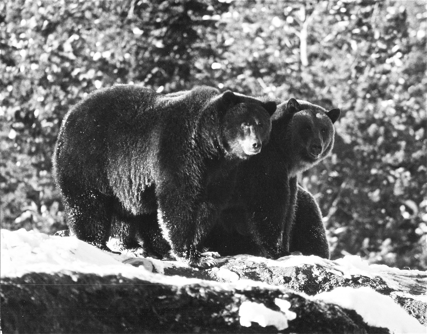 This is what you'd look like if you ate Chateau Lake Louise garbage every day. These grizzly bears were photographed at the Lake Louise dump in 1969. It was a different world for bears back then.